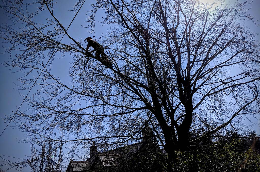 Beech Tree Reduction